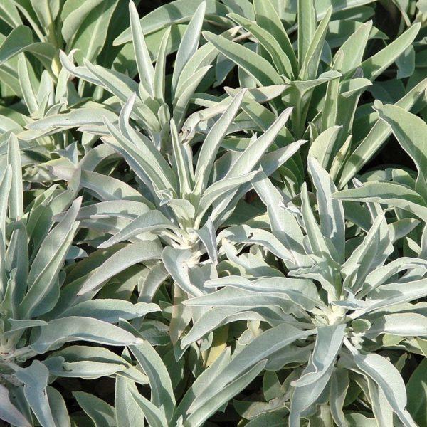 Buy Salvia Apiana White Sage Online