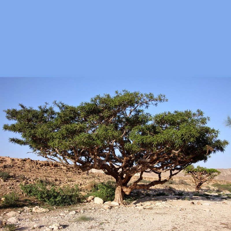Commiphora Myrrha (Myrrh)
