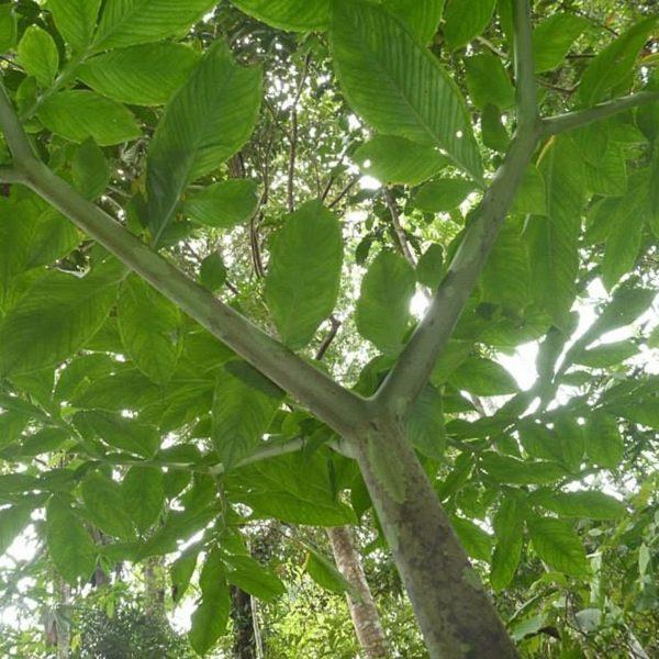 Buy Borneo Red Vein Online