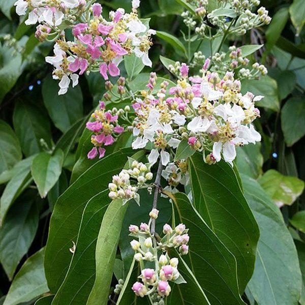 Buy Banisteriopsis Muricata Caapi Red Online