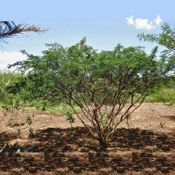 Buy Mimosa Hostilis Root Bark Chopped Online