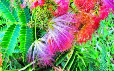 What is Mimosa hostilis and what is it used for?